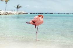 Flamingo at the flamingo-beach of aruba