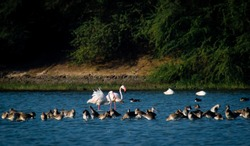 Flamingo at Thol lake bird sanctuary, Ahmedabad, Gujarat, India