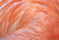 flamingo, close up full frame macro of caribbean or america flamingo wings showing pink feathers, found from mexico to south america. exotic long necked pink bird similar stork