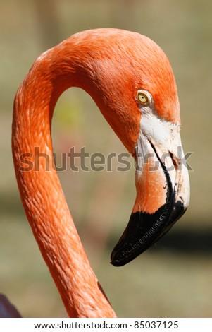 Flamingo closeup portrait