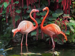 Flamingo couple facing each other standing in pond with koi fish