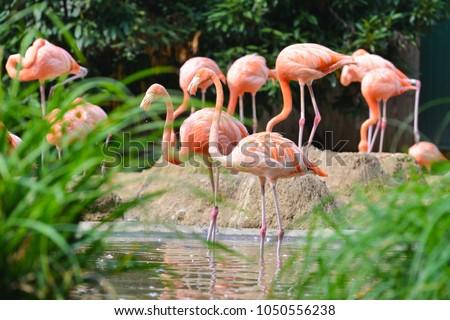 Flamingo family at riverside