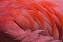 flamingo feathers flowing on wing