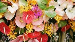 Flamingo Flower, Anthurium Flower or Pigtail Anthurium flower