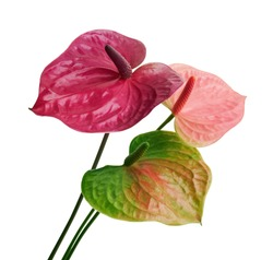 Flamingo flower, Anthurium utah flower isolated on white background, with clipping path