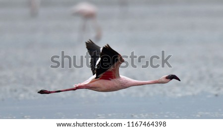 Flamingo in flight. Flying flamingo over the water of Natron Lake.  Lesser flamingo. Scientific name: Phoenicoparrus minor. Tanzania.