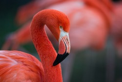 Flamingo isolated