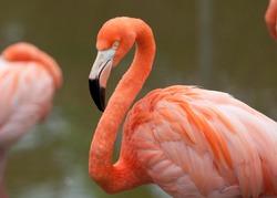 Flamingo near water