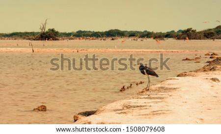 Flamingo nest on the beaches of Las Coloradas, in Merida, Yucatan, popular tourist place in Mexico. Flamingo nest on the beaches of Las Coloradas, in Merida, Yucatan, popular tourist place in Mexico.  #1508079608
