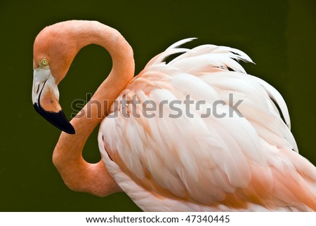 Flamingo purple - orange with long neck