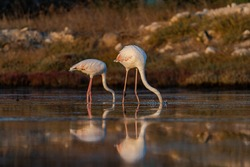 Flamingoes from Alacati wet lands