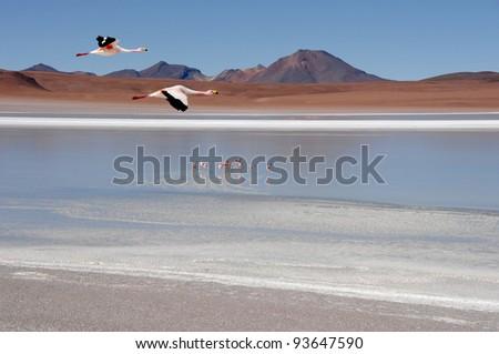 Flamingos, Altiplano in Bolivia