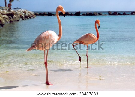 Flamingos at a beach of the caribbean island of Aruba - stock photo