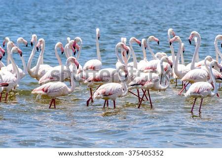 Flamingos at the Walvish Bay in Namibia