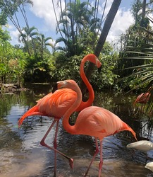 Flamingos from an animal preserve in the Everglades of Florida.