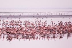 Flamingos group at Manyara Lake National Park. African birds. African safari. African flamingo. Manyara National park, Tanzania