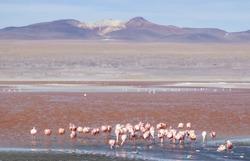 Flamingos in Bolivian Altiplano, South America - Laguna Colorada, Laguna Blanca, Laguna verde