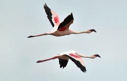 Flamingos in flight. Flying flamingos over the water of Natron Lake.  Lesser flamingo. Scientific name: Phoenicoparrus minor. Tanzania.