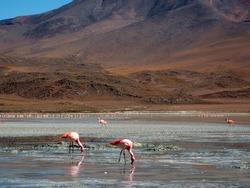 Flamingos in Laguna Colorada - Bolivia