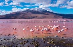 Flamingos in Laguna Colorada , Uyuni, Bolivia
