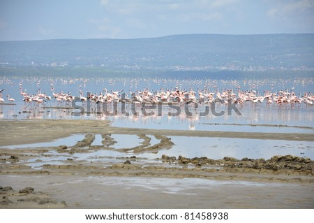 Flamingos in Lake Nakuru in Kenya