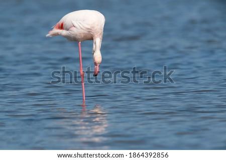 Flamingos in rio Tejo, Portugal Foto stock ©