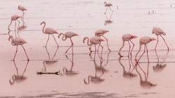 flamingos in small groups in the lagoon of Walvis Bay, Namibia