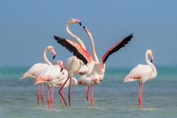 Flamingos near Alaliya island off Doha, Qatar