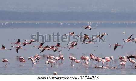 Flamingos on Kenya's Lake Nakuru