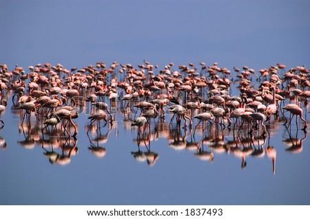 Flamingos on lake Natron, Northern Tanzania
