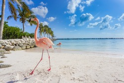 Flamingos on the beach. Aruba island