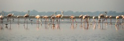 Flamingos on the lake in India