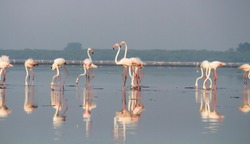 Flamingos on the lake searching for food