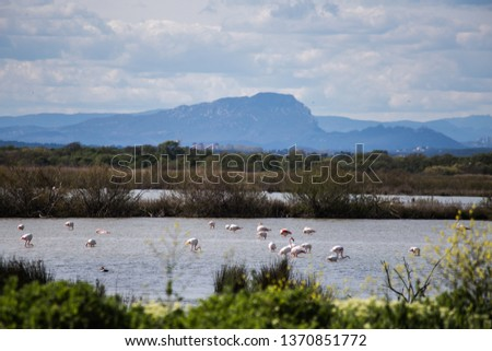 Flamingos on the pond of the gold of the field of tartuguières. In the background, the mountain is the Pic Saint Loup in the south of France in the region of Occitanie and Languedoc Roussillon in Euro
