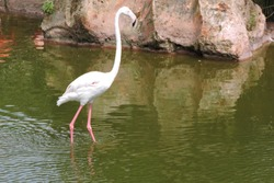 Flamingos or flamingoes. a type of wading bird in the family Phoenicopteridae, the only bird family in the order Phoenicopteriformes. Four flamingo species are distributed througho