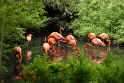 Flamingos or flamingoes are a type of wading bird in the family Phoenicopteridae. Red Flamingos come from America