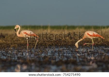 Flamingos, Patagonia Argentina