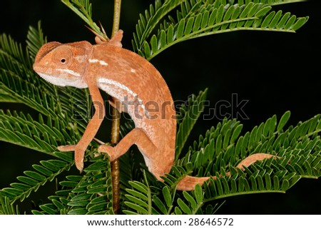 Flap-neck chameleon (Chamaeleo dilepsis) on the leaves of an African Acacia tree, South Africa