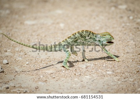 Flap-necked chameleon walking in the gravel in the Etosha National Park, Namibia.