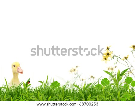 Flapper on spring meadow - stock photo