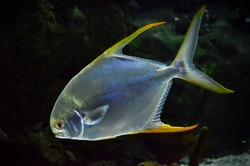 flashy and sparkling fish in the depths of the sea