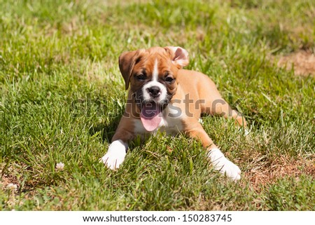 Flashy fawn boxer puppy laying in the grass #150283745