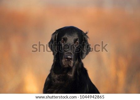 Flat coated retriever. Beautiful black dog. Outdoor portrait. #1044942865