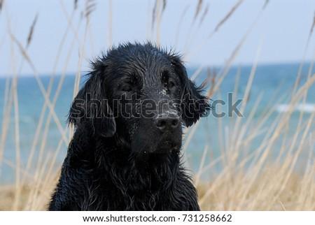 Flat coated retriever dog beach background #731258662