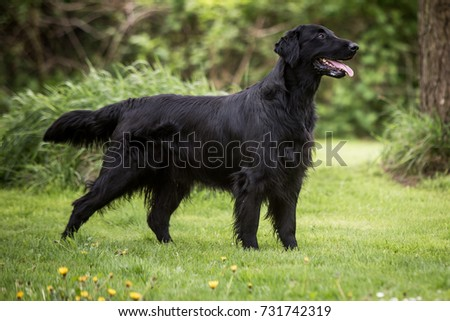 Flat coated retriever dog in the garden #731742319
