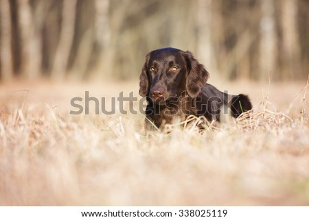 flat coated retriever dog lying down on a field