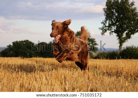 flat coated retriever have fun on a stubble field in the sunshine #751035172
