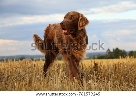 Flat coated retriever is standing on a stubble field #761579245