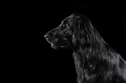 Flat Coated Retriever on a black background