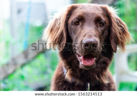 Flat coated retriever playing in the garden #1563214513